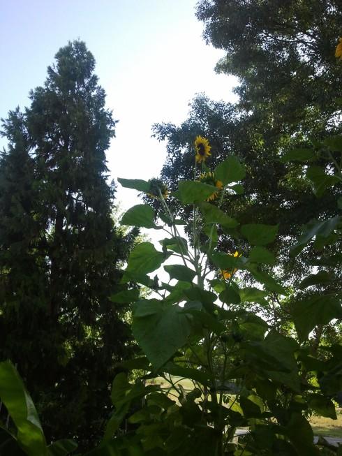 I girasoli giganti dell'orto della groupie - foto di TT
