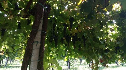 L'uva è pronta nella Regium countryside - foto TT
