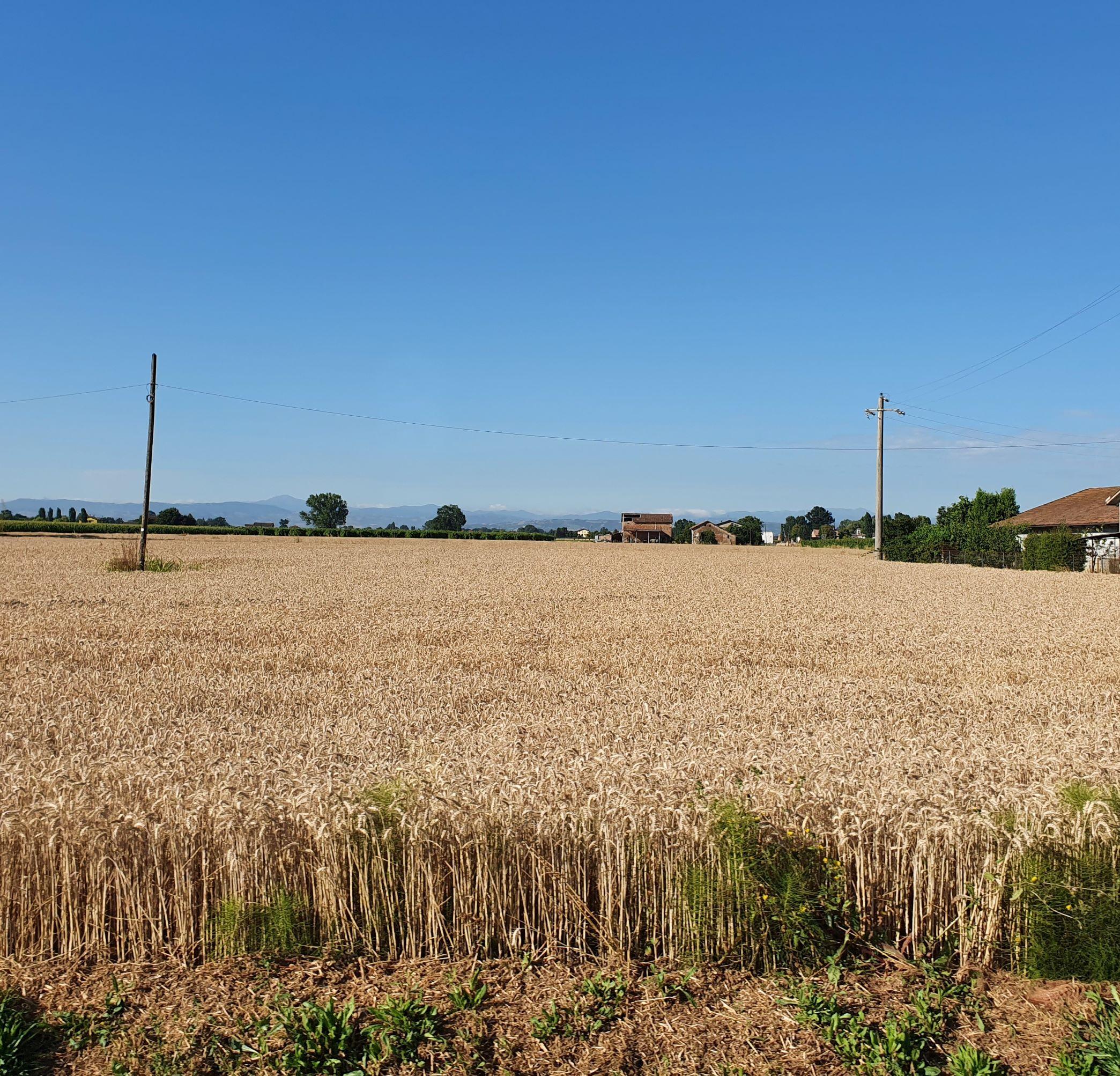 Osteriola countryside - campi di grano - Luglio 2021 - Foto TT