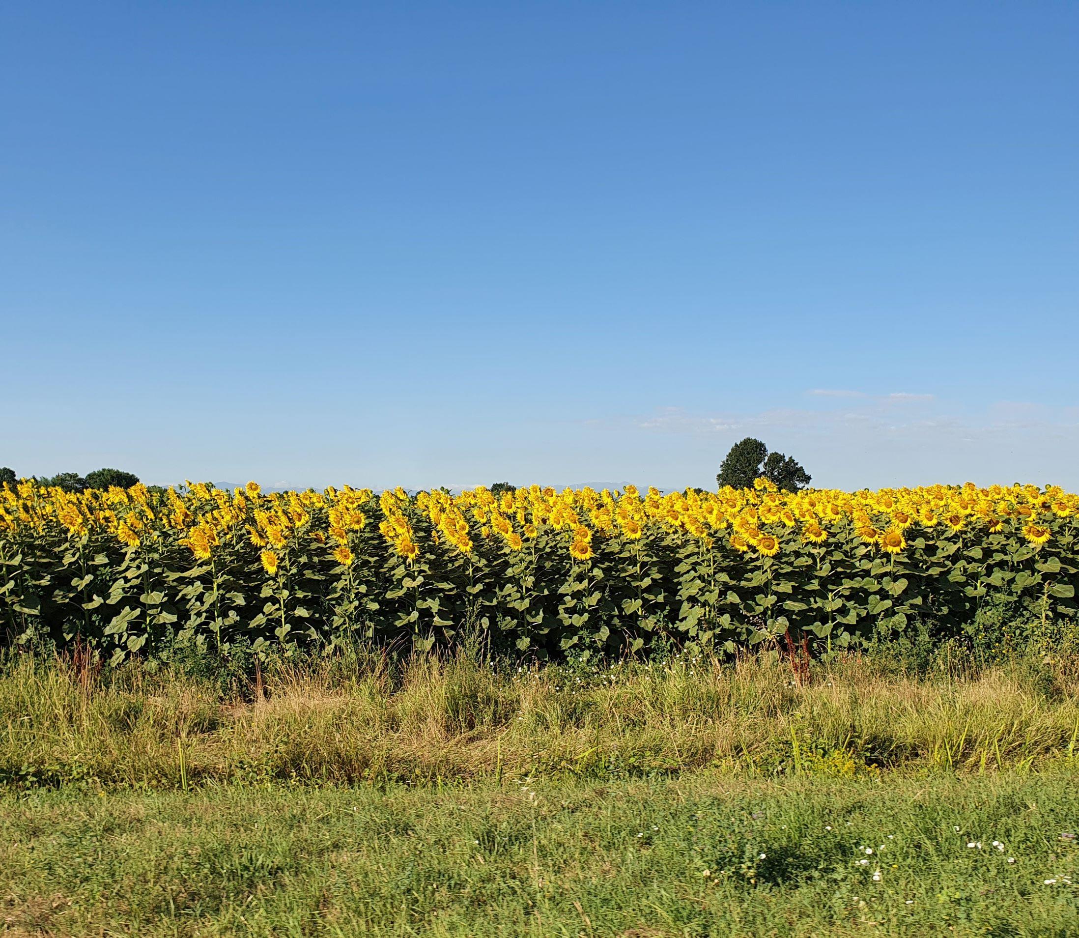 Osteriola countryside - sunflowers - Luglio 2021 - Foto TT